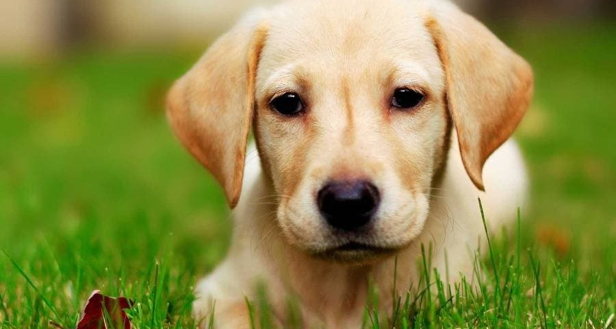 Labrador-Retriever-Wallpaper-min