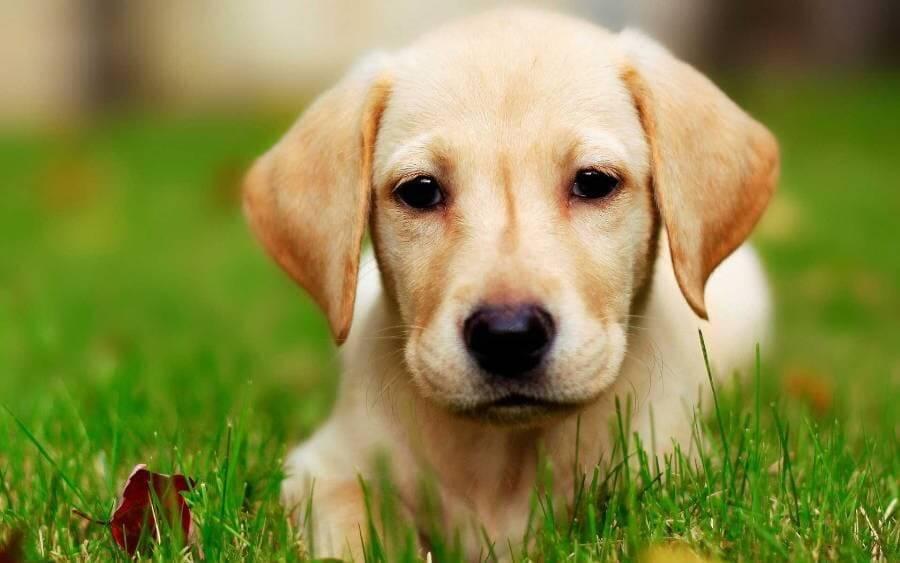 Labrador-Retriever-Wallpaper-min